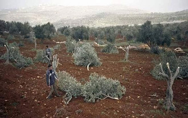 Afrin ... An armed group cut down 150 olive trees belonging to a widow