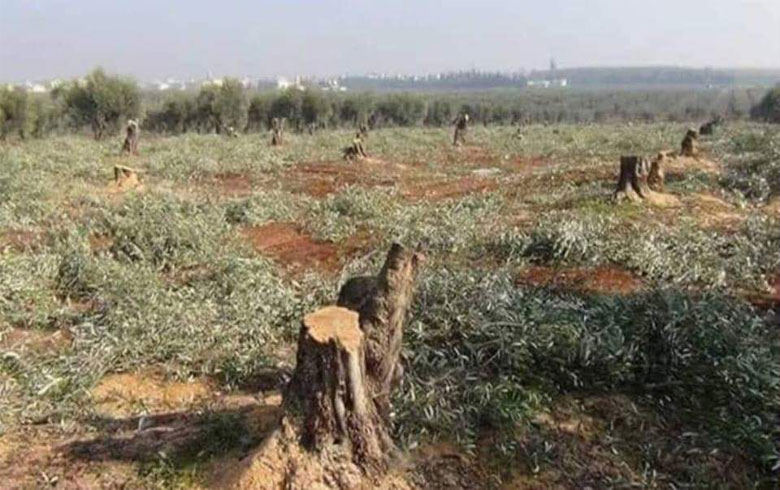 Afrin… Cutting down olive and forest trees continue by factions militiamen and sell logs in Idlib markets