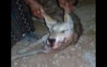 إصابة ستة أشخاص نتيجة هجوم لذئب على أطراف مدينة سورية